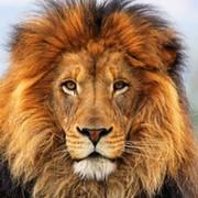 Lion . on My World.